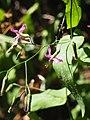 Prenanthes purpurea L.jpg
