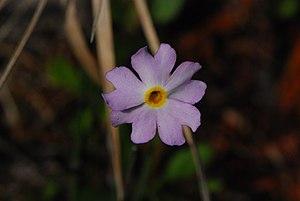 Primula mistassinica - Image: Primula mistassinica