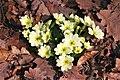 Primula vulgaris ENBLA16.jpg