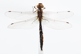 <i>Procordulia smithii</i> Species of dragonfly