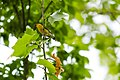 Prothonotary warbler (26689644012).jpg