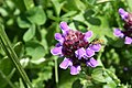 Prunella vulgaris, RNR Frasne - img 13745.jpg