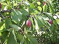 Prunus0002.JPG