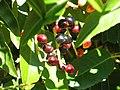 Prunus lusitanica Frutos 2010-9-26 DehesaBoyaldePuertollano.jpg