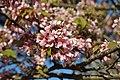 Prunus serrulata 'Hisakura' in the Jardin des Plantes of Paris 002.jpg