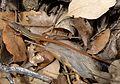 Psammodromus algirus (juvenile) - Flickr - gailhampshire.jpg