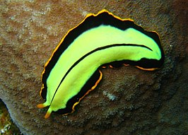 platworm