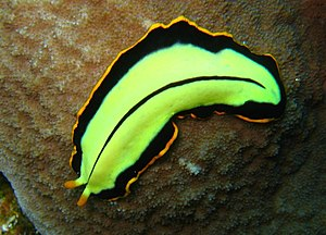 Flatworm -  The turbellarian Pseudoceros dimidiatus