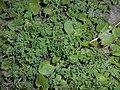 Pseudofumaria lutea 2016-04-22 8539.jpg
