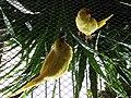 Psittacula krameri (Wroclaw zoo)-1.JPG
