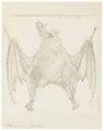Pteropus griseus - 1700-1880 - Print - Iconographia Zoologica - Special Collections University of Amsterdam - UBA01 IZ20700027.tif