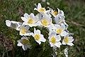 Pulsatilla alpina-3087 - Flickr - Ragnhild & Neil Crawford.jpg
