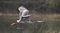 Purple Heron, Ardea purpurea, at Waterfall Estate, Gauteng, South Africa (35295449523).jpg