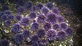 Purple Sea Urchins (7622488604).jpg