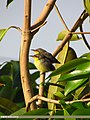 Purple Sunbird (Cinnyris asiaticus) (15706419268).jpg