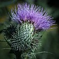 Purple Weed Portrait (14931717381).jpg