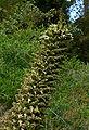 Puya raimondii 2.jpg