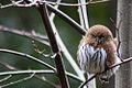 Pygmy (Glaucidium) owl.jpg