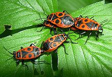 Le monde merveilleux des insectes - Page 2 220px-Pyrrhocoris_apterus1