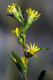 <i>Pyrrocoma racemosa</i> species of plant