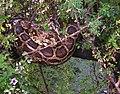 Python m. molurus tree Keoladeo NP.jpg