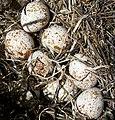 Quail eggs.jpg