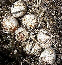 linnun munat
