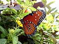 Queen Butterfly, side.jpg