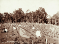 Queensland State Archives 2394 Strawberry field group picking at Simpsons strawberry field Blackall Range c 1899.png