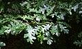 Quercus cerris 1.jpg