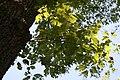 Quercus prinus 17zz.jpg