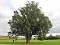 Quercus robur fastigiata (Rentilly).jpg