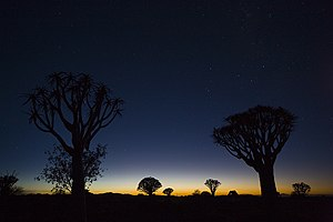 Quiver trees in Namibia waiting for a new day.jpg