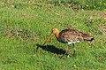 Rödspov Black-tailed Godwit (14334185420).jpg