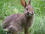 Rabbit-closeup-profile-looking.jpg