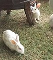 Rabbits at jaipur.jpg