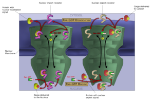 Ran (gene) - Ran cycle involvement in nucleocytoplasmic transport at the nuclear pore