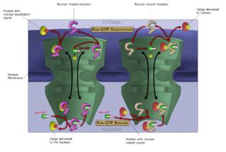 Macromoléculas, como o ARN e proteínas, são transportadas activamente através da membrana nuclear, num processo denominado ciclo Ran-GTP de transporte nuclear.