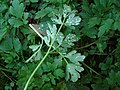 Ranunculus repens Entyloma ranunculi-repenti (02).JPG