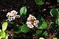 Raphiolepis Springtime 2zz.jpg