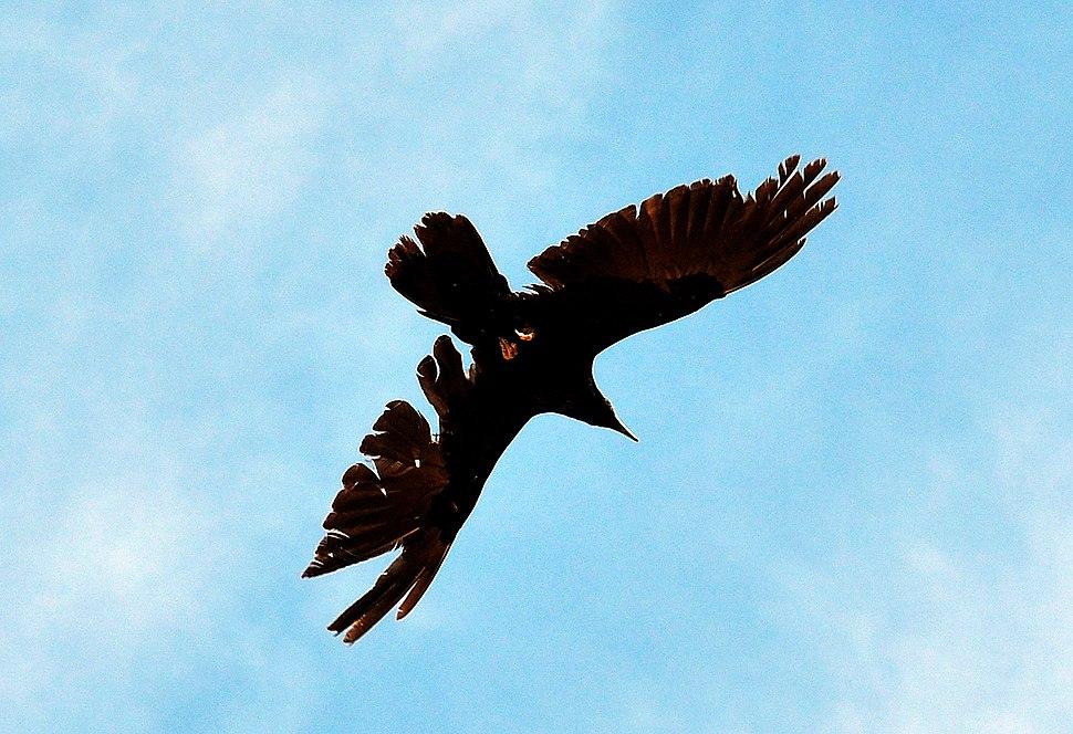 Ravaged Raven in Flight