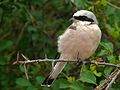 Red-backed Shrike (Lanius collurio) (6046203636).jpg