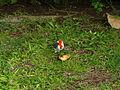 Red-crested Cardinal-Cardenal de cresta roja (Paroaria coronata), Honolulu, Oahu, Hawaii, USA1.jpg
