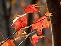 Red Maple (31025637162).jpg