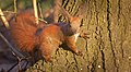 Red squirrel (51022091111).jpg