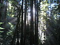 Redwoods Little Creek Swanton Pacific Ranch.JPG
