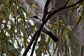 Restless Flycatcher (Myiagra inquieta) (8079689861).jpg