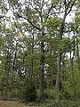 Rezerwat przyrody Dęby w Meszczach 11.20 02.jpg