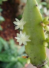 Rhipsalis cereoides kz03.jpg