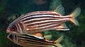 Rhodes Aquarium - Sargocentron rubrum.jpg